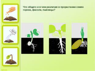 Что общего и в чем различия в прорастании семян гороха, фасоли, пшеницы?