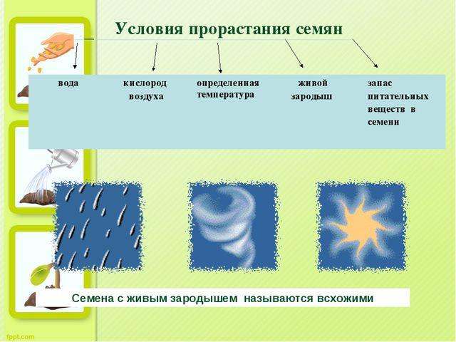 Семена с живым зародышем называются всхожими Условия прорастания семян вода...