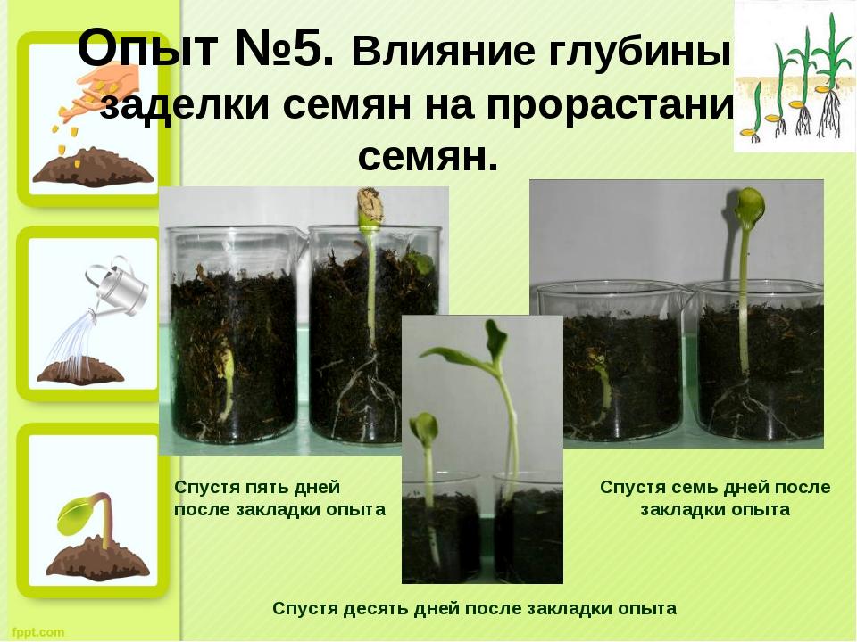 Опыт №5. Влияние глубины заделки семян на прорастание семян. Спустя пять дней...