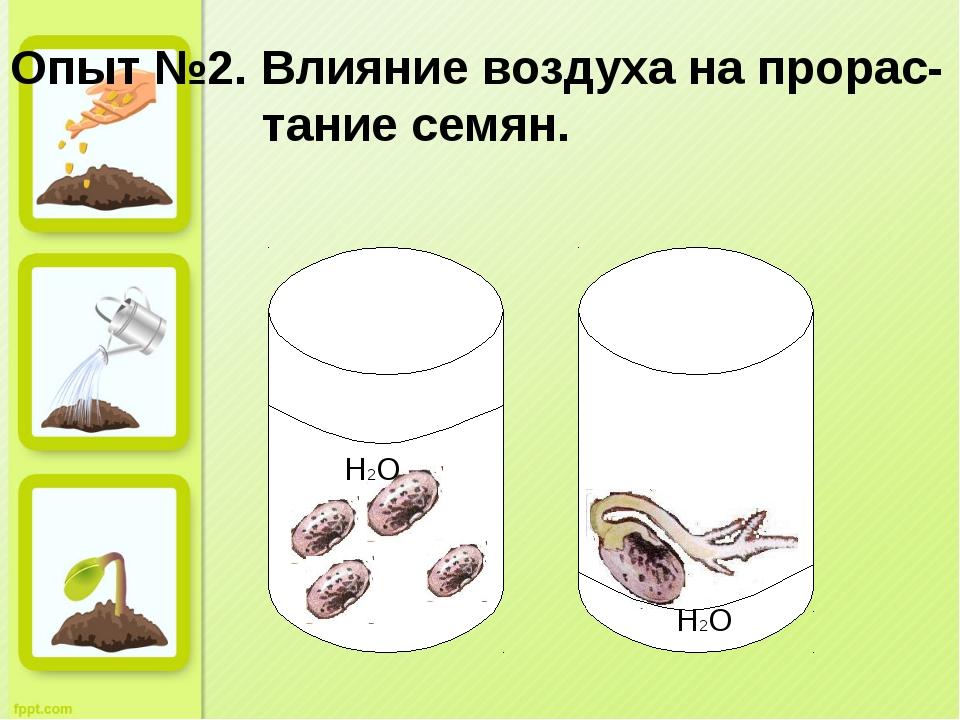 Опыт №2. Влияние воздуха на прорас- тание семян. H2O H2O