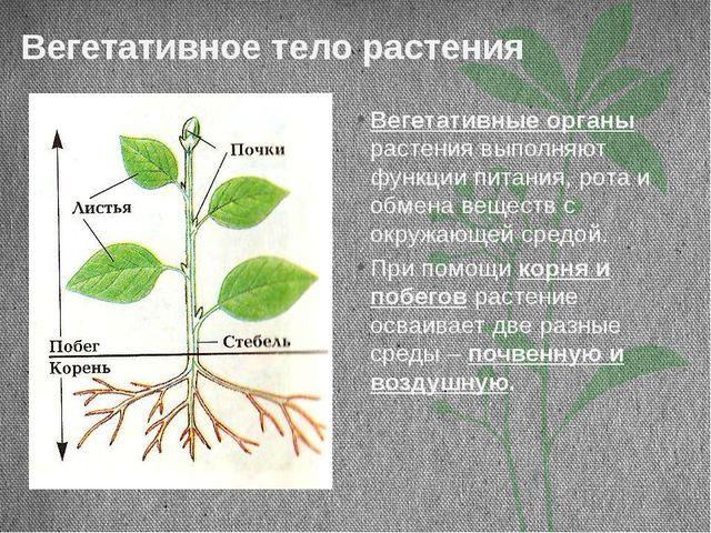 Вегетативное тело растения Вегетативные органы растения выполняют функции пит...