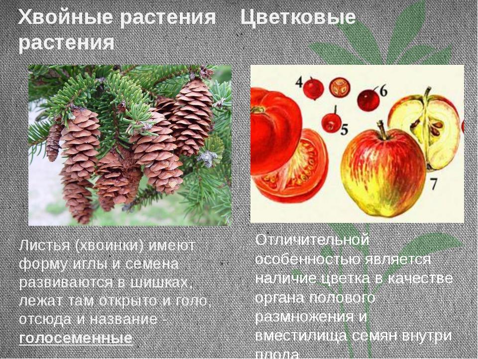 Хвойные растения Цветковые растения Листья (хвоинки) имеют форму иглы и семен...