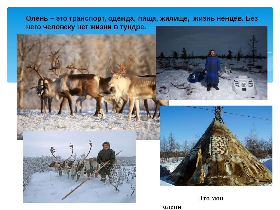 Олень – это транспорт, одежда, пища, жилище, жизнь ненцев. Без него человеку...