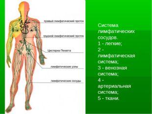 Система лимфатических сосудов. 1 - легкие; 2 - лимфатическая система; 3 - вен