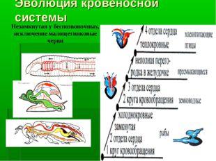 Эволюция кровеносной системы Незамкнутая у беспозвоночных, исключение малощет