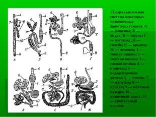Пищеварительная система некоторых позвоночных животных (схема): А — миксина;