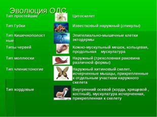 Эволюция ОДС Тип простейшиеЦитоскелет Тип ГубкиИзвестковый наружный (спик