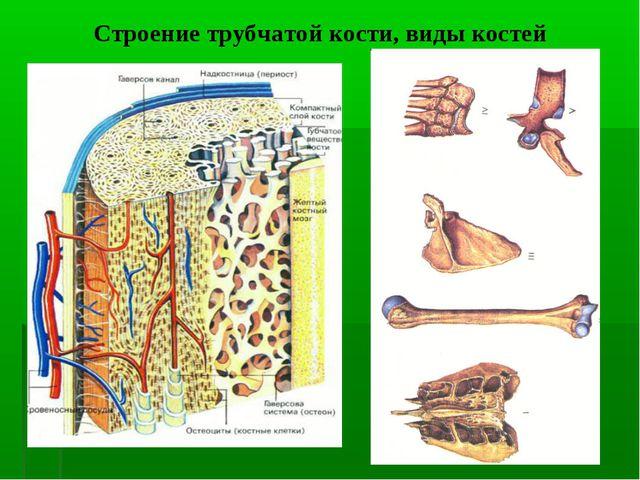 Строение трубчатой кости, виды костей