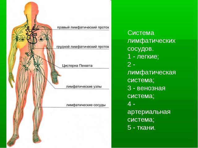 Система лимфатических сосудов. 1 - легкие; 2 - лимфатическая система; 3 - вен...