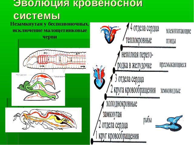 Эволюция кровеносной системы Незамкнутая у беспозвоночных, исключение малощет...