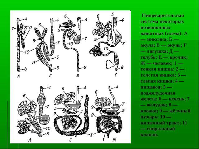 Пищеварительная система некоторых позвоночных животных (схема): А — миксина;...