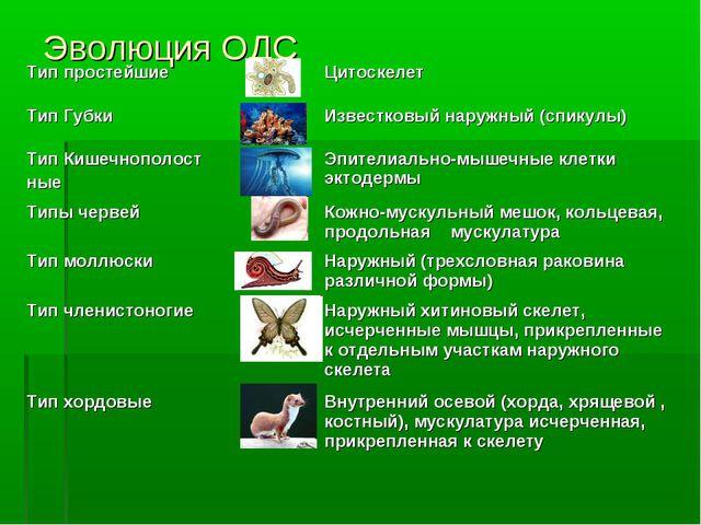 Эволюция ОДС Тип простейшиеЦитоскелет Тип ГубкиИзвестковый наружный (спик...