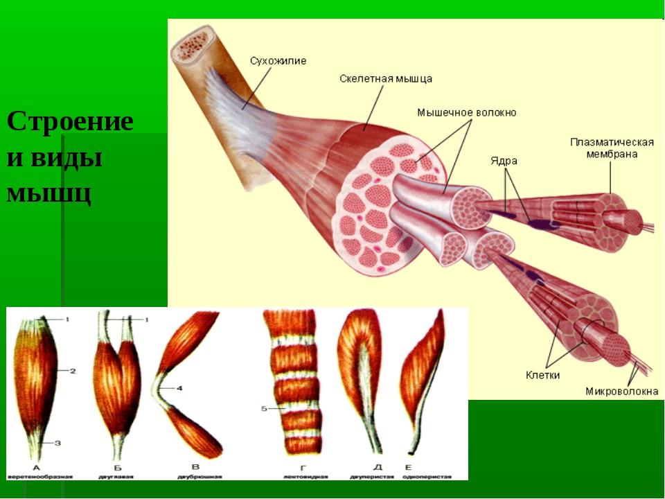 Строение и виды мышц