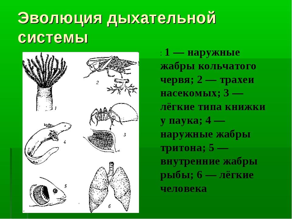 Эволюция дыхательной системы : 1 — наружные жабры кольчатого червя; 2 — трахе...