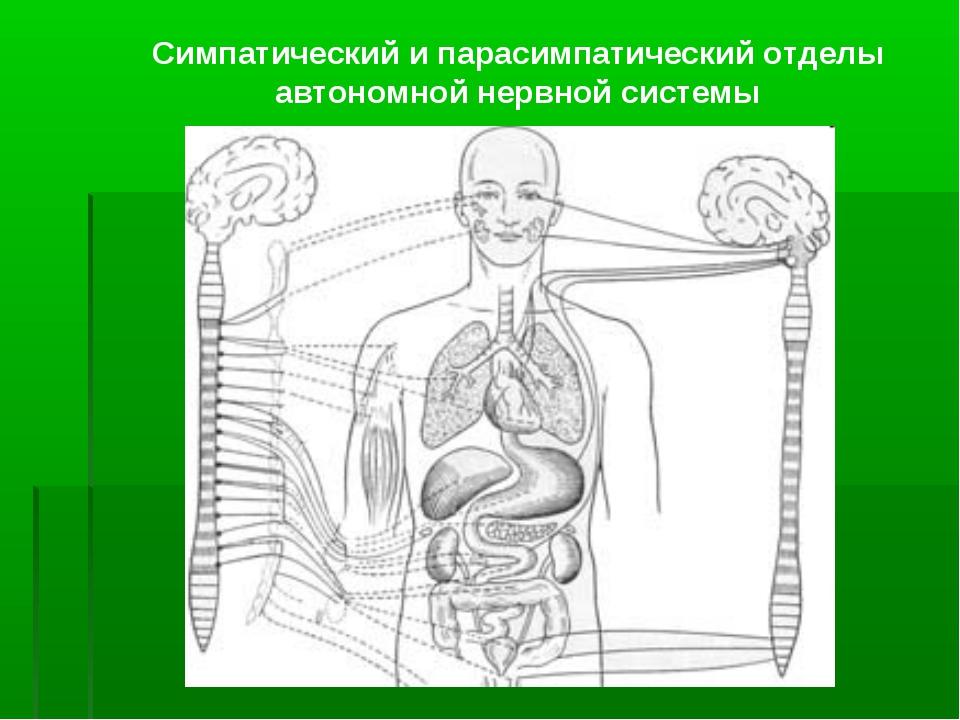 Симпатический и парасимпатический отделы автономной нервной системы