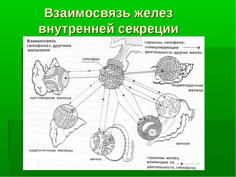 Взаимосвязь желез внутренней секреции