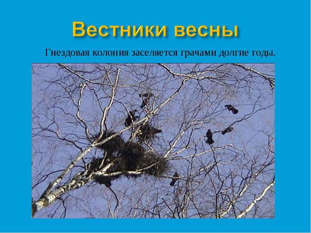 Гнездовая колония заселяется грачами долгие годы.
