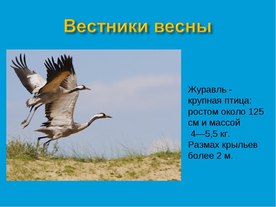 Журавль - крупная птица: ростом около 125 см и массой 4—5,5 кг. Размах крылье...