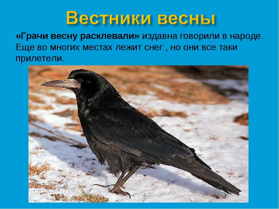 «Грачи весну расклевали» издавна говорили в народе. Еще во многих местах лежи...