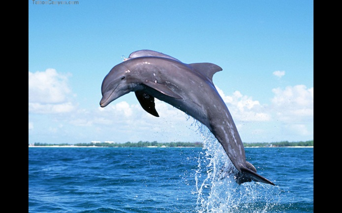 http://www.tattoocanyon.com/download-pic/15541-dolphins-jumping-tattoos-tattoo-design-960x600.jpg