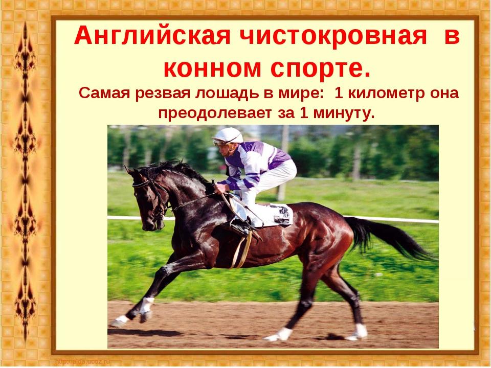 Английская чистокровная в конном спорте. Самая резвая лошадь в мире: 1 киломе...