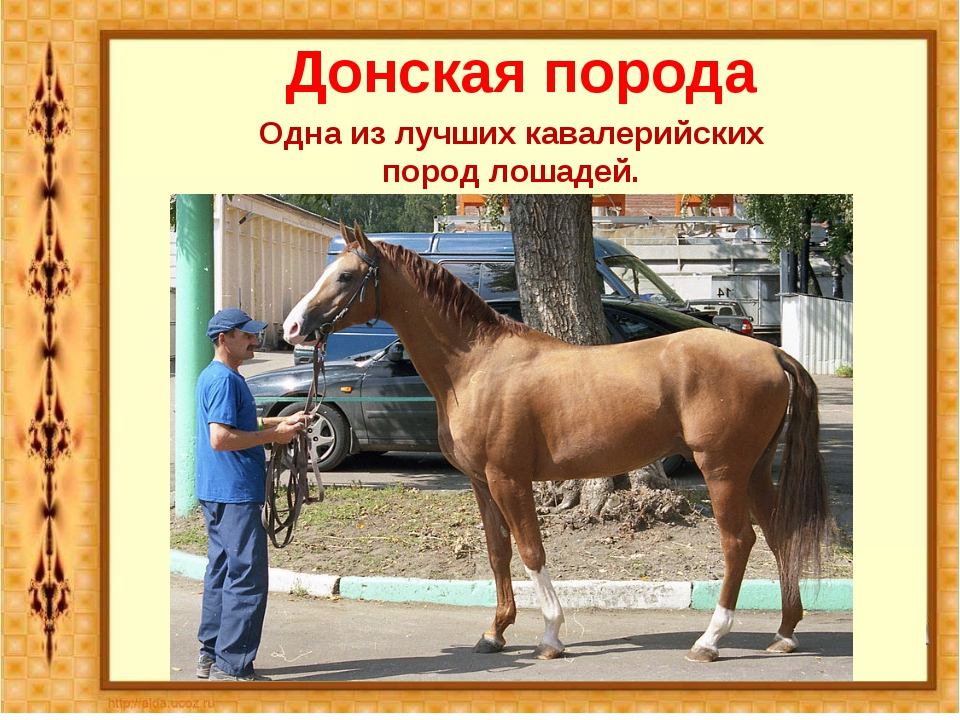 Донская порода Одна из лучших кавалерийских пород лошадей.