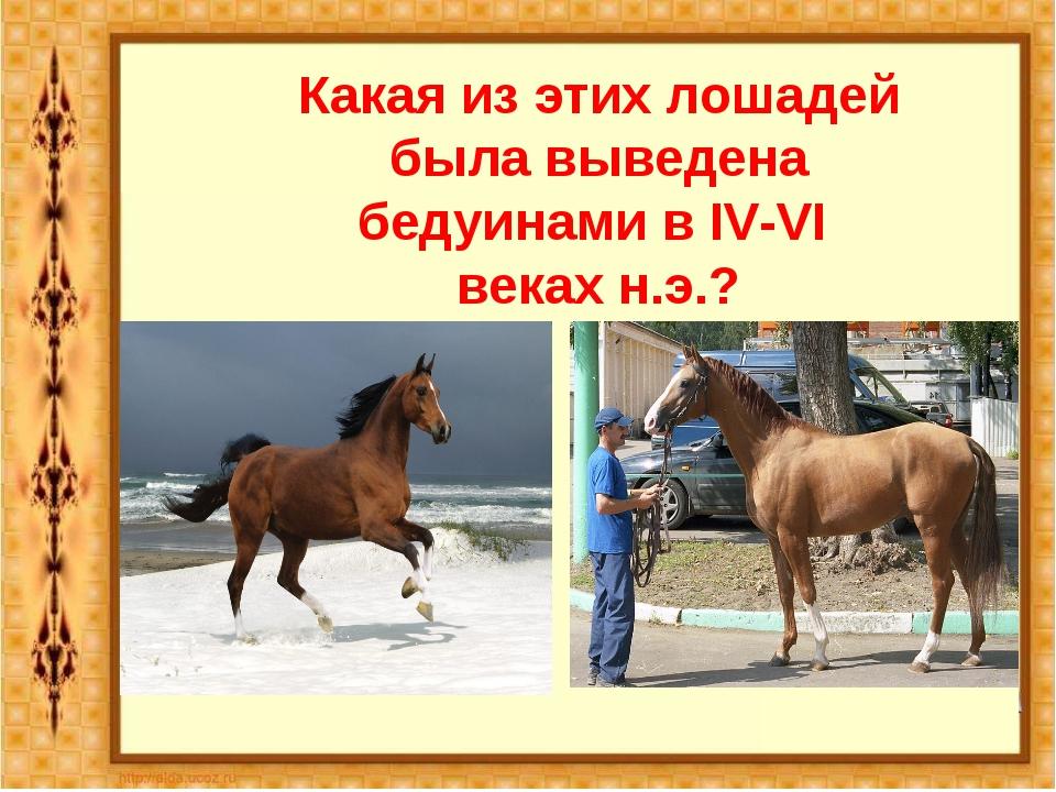 Какая из этих лошадей была выведена бедуинами в IV-VI веках н.э.? Арабская по...
