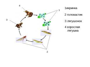 1 2 3 4 1икринка 2 головастик 3 лягушонок 4 взрослая лягушка