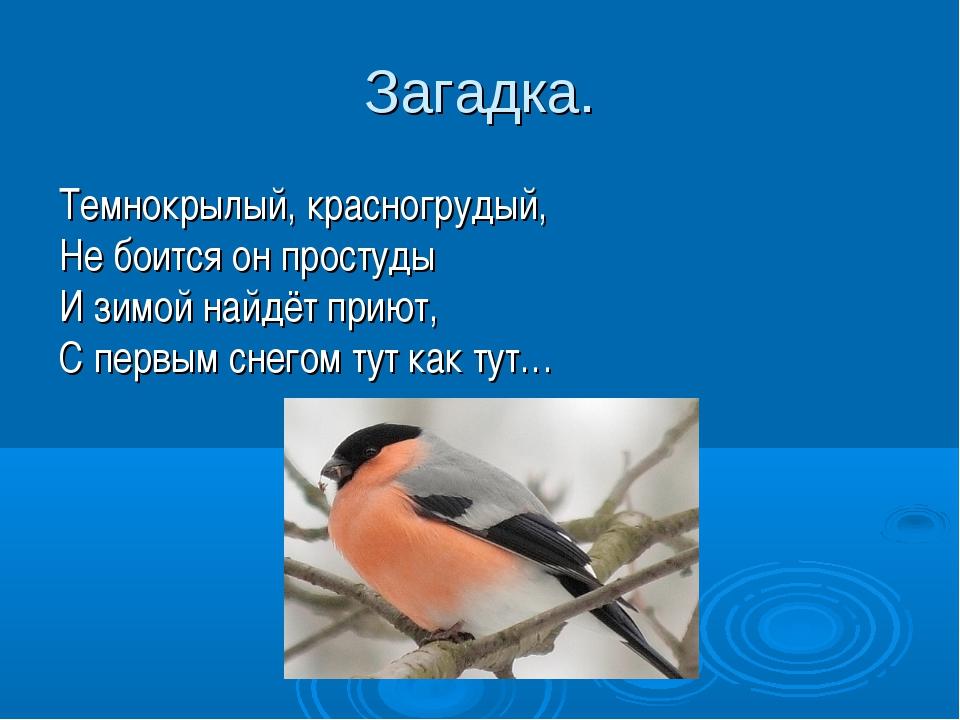 Загадка. Темнокрылый, красногрудый, Не боится он простуды И зимой найдёт прию...