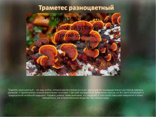 Траметес разноцветный – это вид грибов, который распространен во всем мире и