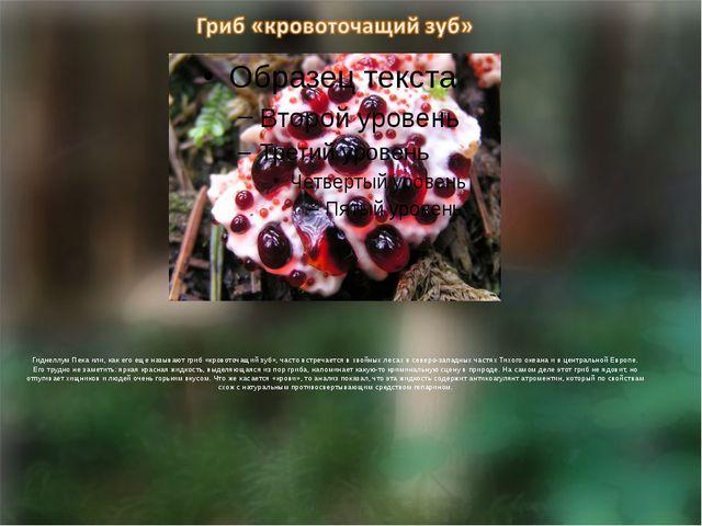 Гиднеллум Пека или, как его еще называют гриб «кровоточащий зуб», часто встр...