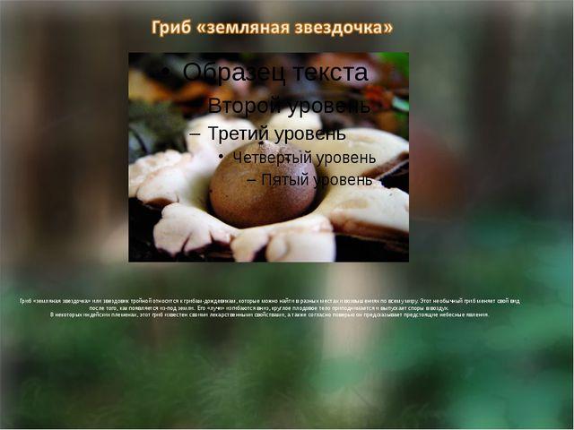 Гриб «земляная звездочка» или звездовик тройной относится к грибам-дождевика...