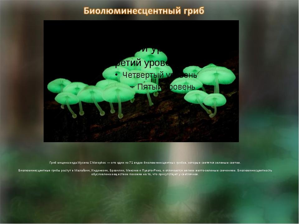 Гриб мицена вида Mycena Chlorophos — это один из 71 видов биолюминесцентных...