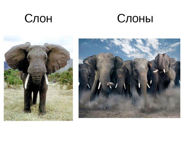 Слон Слоны
