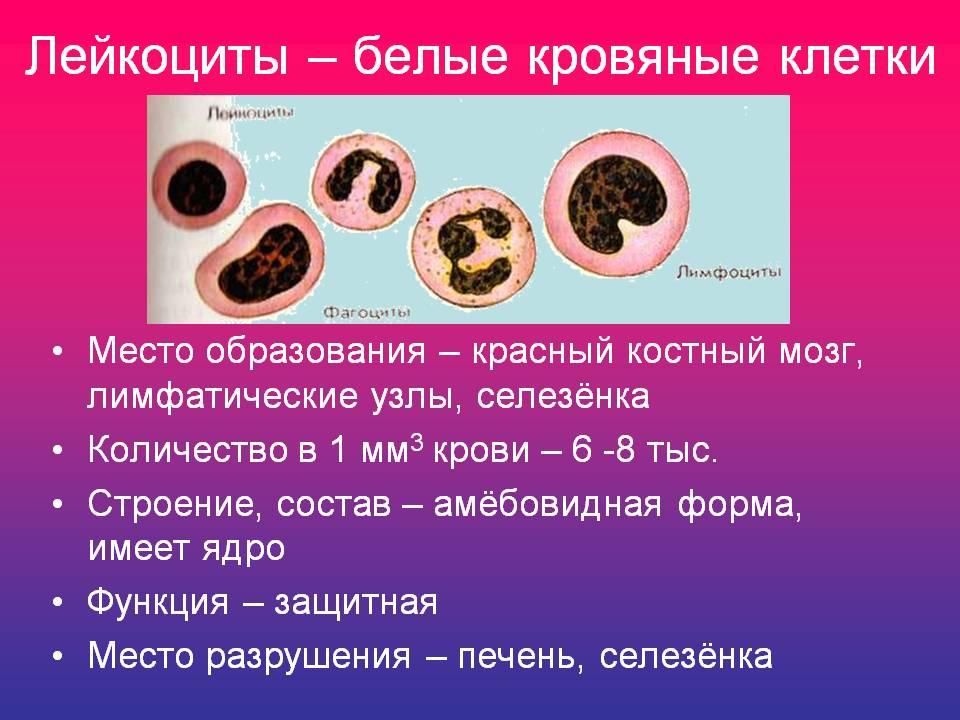 http://900igr.net/datas/biologija/Sostav-krovi/0012-012-Lejkotsity-belye-krovjanye-kletki.jpg