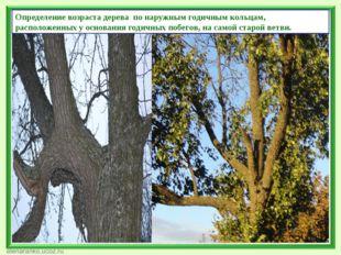 Определение возраста дерева по наружным годичным кольцам, расположенных у осн