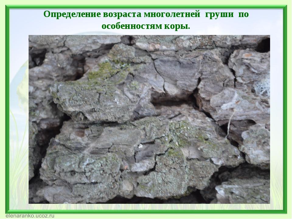 Определение возраста многолетней груши по особенностям коры.