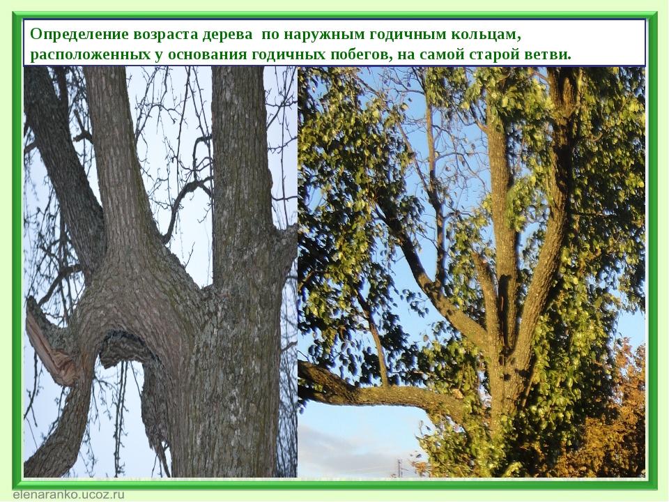 Определение возраста дерева по наружным годичным кольцам, расположенных у осн...