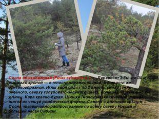 Сосна обыкновенная (Pinus sylvestris L.). Дерево от 3-5м до 30 м высоты с кро