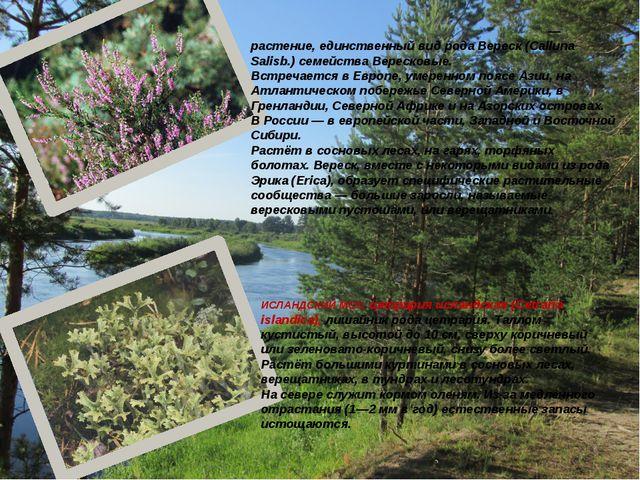 Ве́реск обыкнове́нный (лат. Callúna vulgáris) — растение, единственный вид ро...