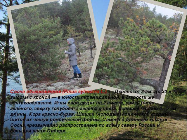 Сосна обыкновенная (Pinus sylvestris L.). Дерево от 3-5м до 30 м высоты с кро...