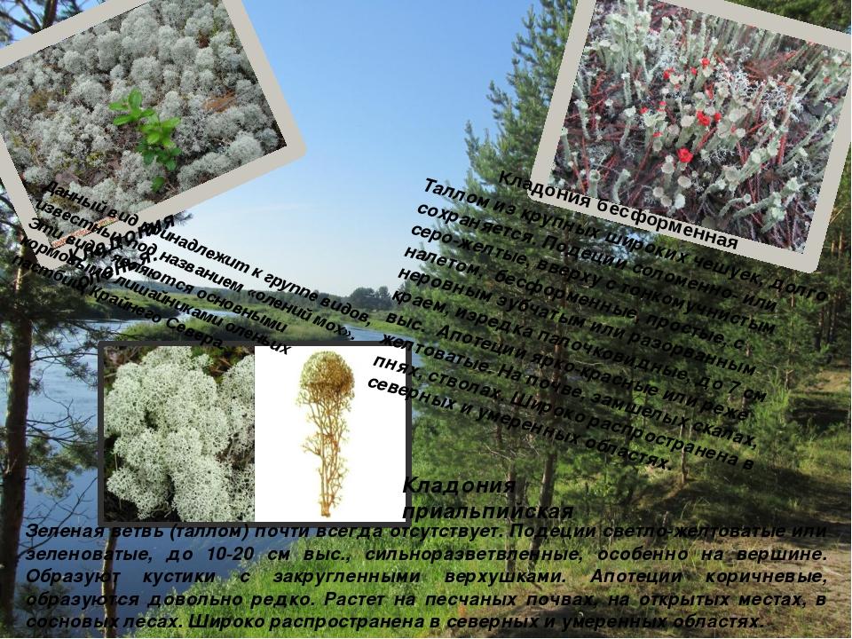 Данный вид принадлежит к группе видов, известных под названием «олений мох»....