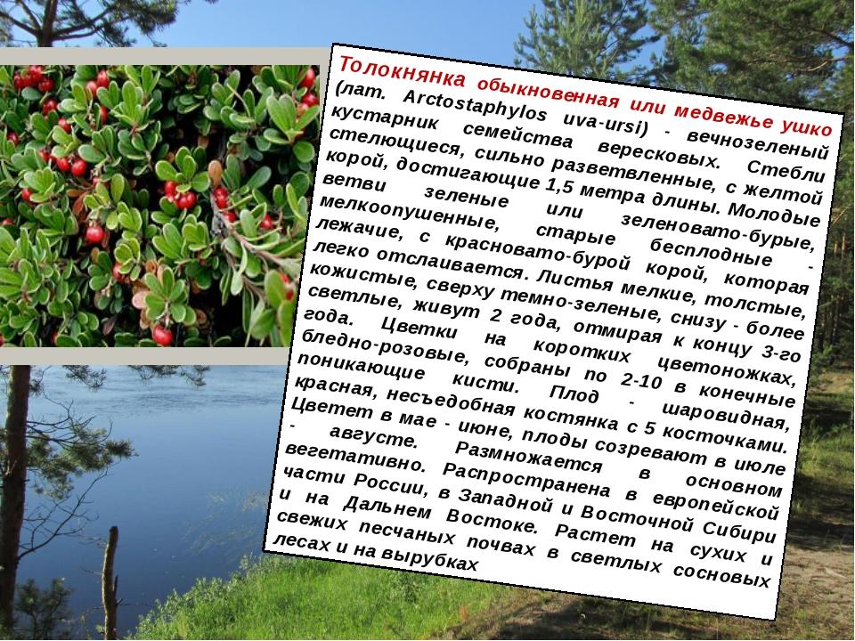 Толокнянка обыкновенная или медвежье ушко (лат. Arctostaphylos uva-ursi) - ве...