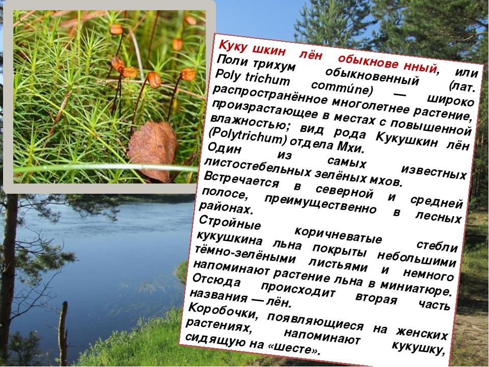Куку́шкин лён обыкнове́нный, или Поли́трихум обыкновенный (лат. Polýtrichum...