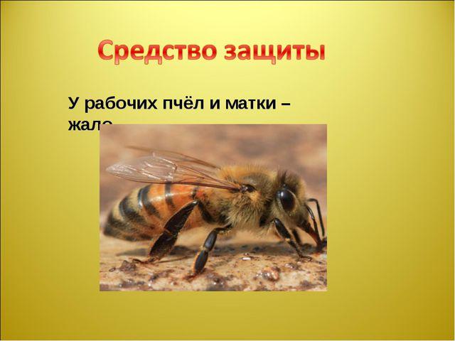 У рабочих пчёл и матки – жало.