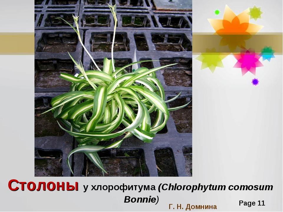 Столоны у хлорофитума (Chlorophytum comosum Bonnie) Г. Н. Домнина Page *
