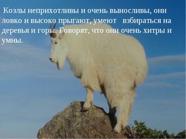 Козлы неприхотливы и очень выносливы, они ловко и высоко прыгают, умеют взби...