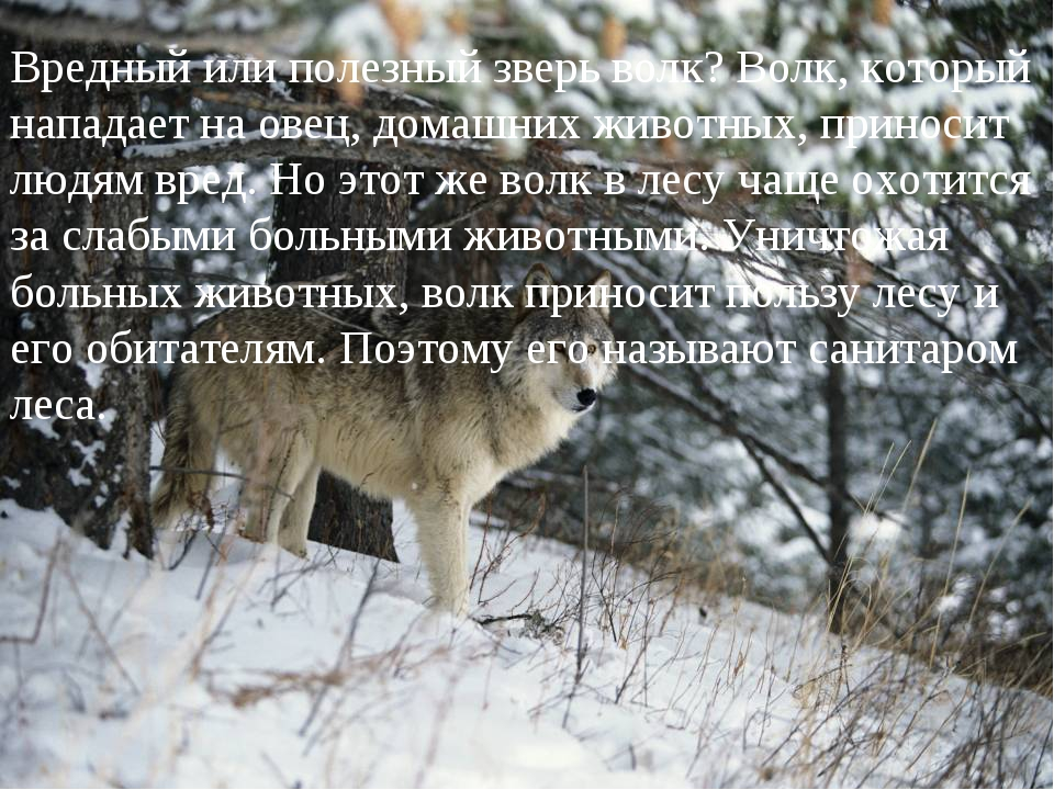 Вредный или полезный зверь волк? Волк, который нападает на овец, домашних жив...