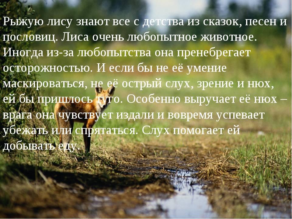 Рыжую лису знают все с детства из сказок, песен и пословиц. Лиса очень любопы...