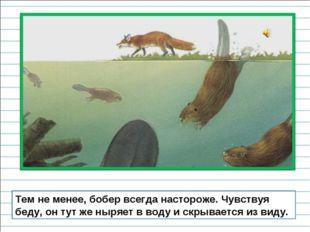 Тем не менее, бобер всегда настороже. Чувствуя беду, он тут же ныряет в воду